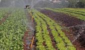 Irrigação de hortaliças no Paraná