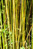 Bambuzal