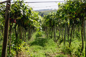 Grape planting