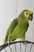 Papagaio domestico