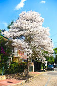 Árvore do Ipê Branco em SP